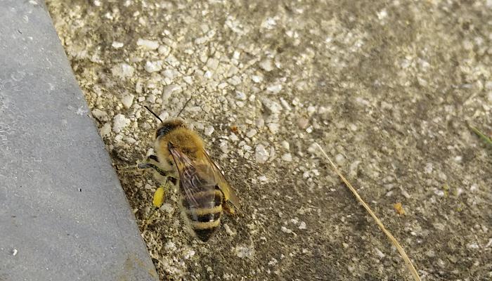 pollen_biene_februar