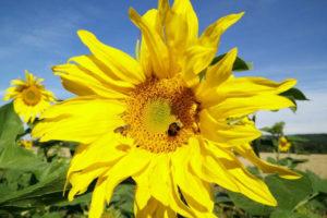Buchrezension: Die schönsten Pflanzen für Bienen & Hummeln