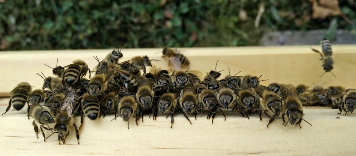 Was machen eigentlich Bienen bei dieser Hitze?