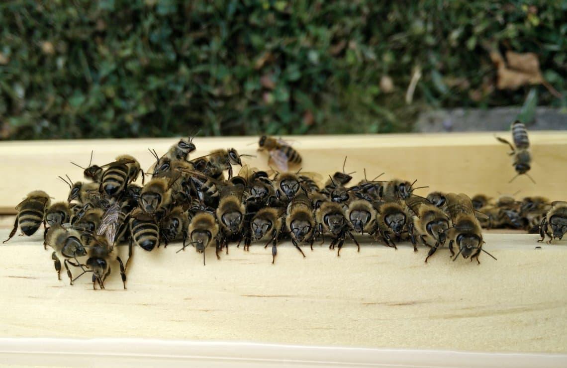 Artikelbild Was machen Bienen bei grosser Hitze?