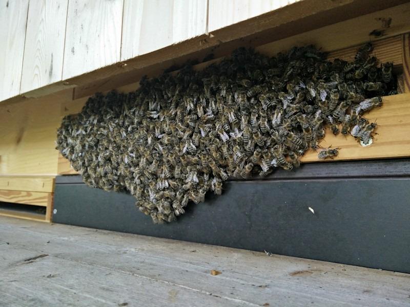 Bienen Hitze Bienenbart
