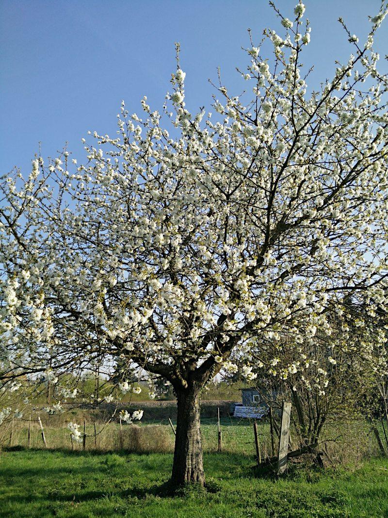 Kirschbaum Burlafingen