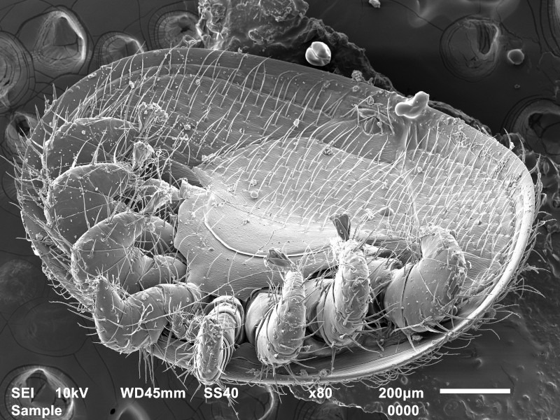 Varroamilbe unter dem Raster-Elektronen-Mikroskop