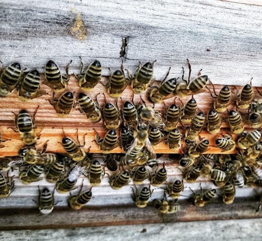 Bienen beim ventilieren
